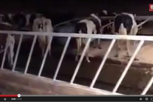 Dry cow signals - How many cows are standing and not resting?