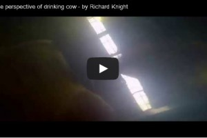 Unique perspective of drinking cow - by Richard Knight