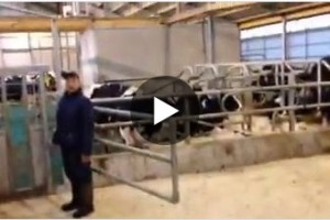 Easy cow catching in dutch barn
