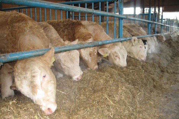 How easy can your cows reach the feed?