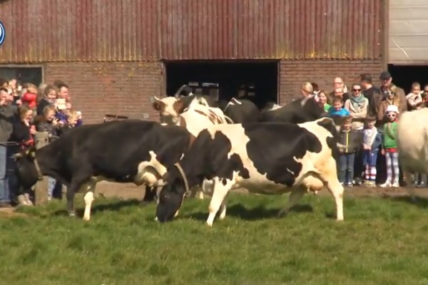 Happy cows coming out in the summer!
