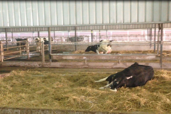 Stress free calving line and calf taxi in China