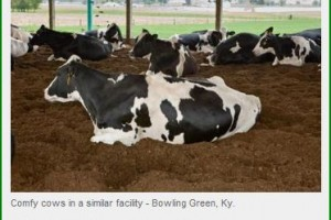 Cow comfort is a top priority for new UK dairy facility