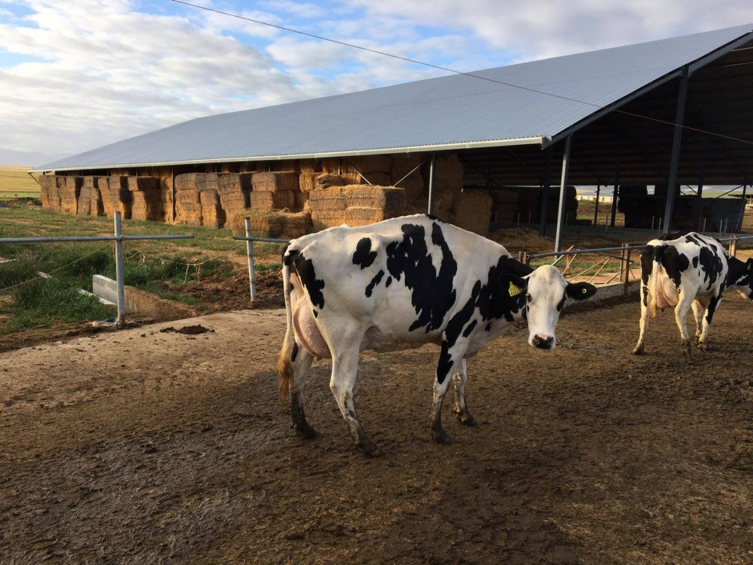 Prevent lameness, provide cows with a good bed