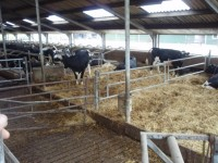 Cubicle design for dairy cows stress-free calving line.jpg
