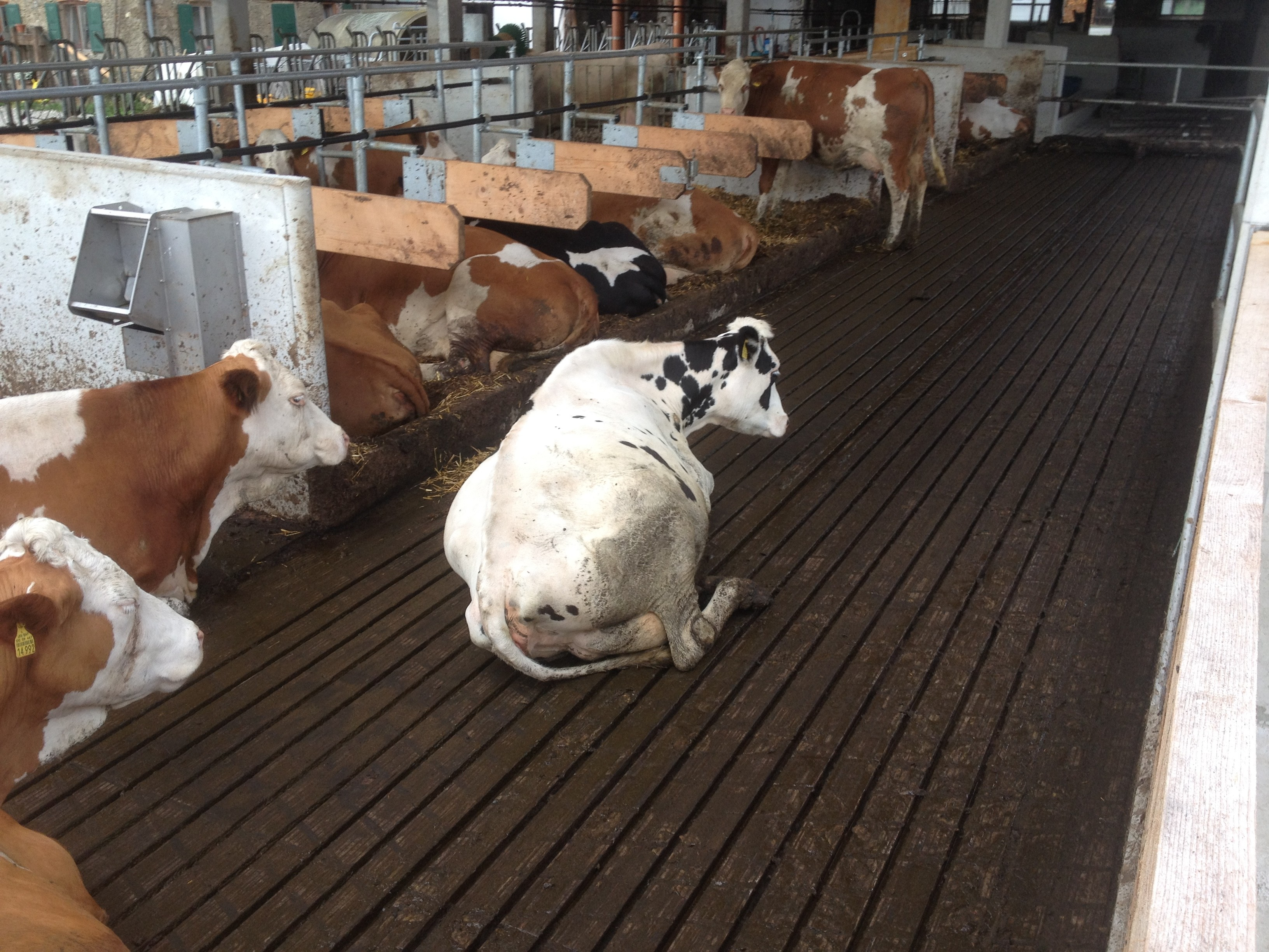 Why are these cows not lying in their new beds 3 jpg