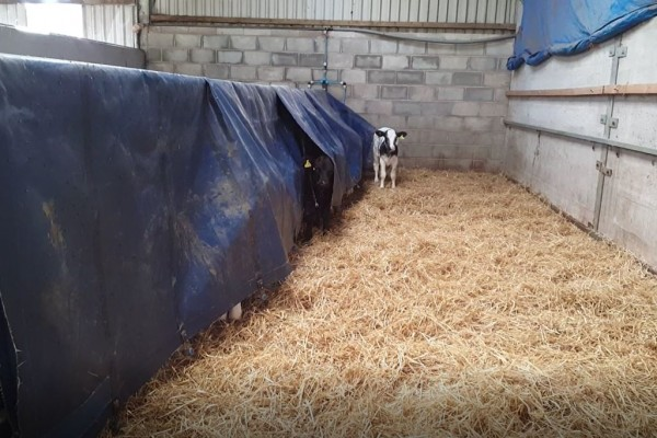 Why are these calves playing hide and seek?