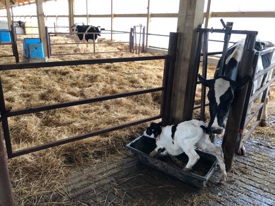 Calving routine secure cow and cuddle box.jpg