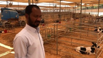 Youngstock in Dubai: keeping cows cool