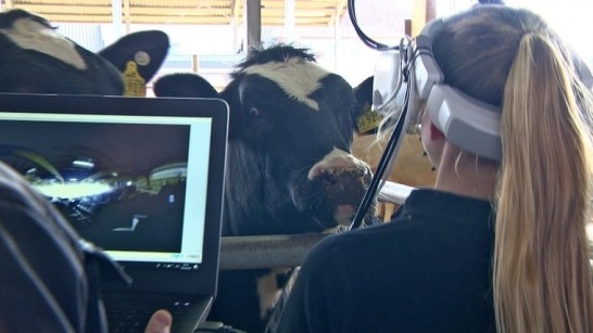 Look through the eyes of a cow – with Virtual Reality!