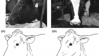 The pain scale: 6 behavioral signs that a cow is in pain