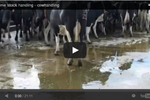 Cowtime stock handling - cowhandling