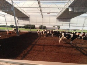Soft beds for cows 3