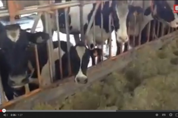 Look these cows are locked in for too long