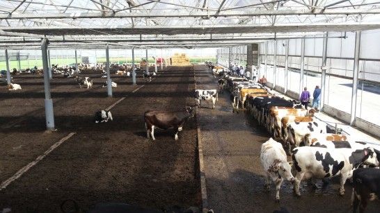 Soft Beds For Cows Is The New Standard CowSignals Training Company